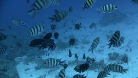 Tropical underwater coral reef. Fishes at Tropical underwater coral reef in the Red Sea near Hurghada, Egypt stock video footage