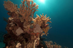 Tropical underwater life in the Red Sea. Royalty Free Stock Photography