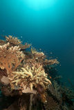 Tropical underwater life in the Red Sea. Stock Photography