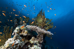 Tropical underwater life in the Red Sea. Stock Image