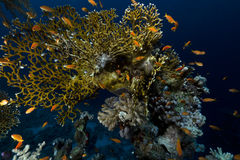 Tropical underwater life in the Red Sea. Royalty Free Stock Photos