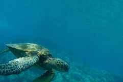 Tropical underwater scene - sea turtle Royalty Free Stock Photos