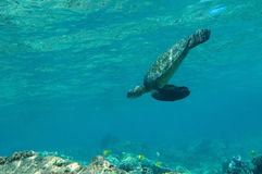 Tropical underwater scene - sea turtle Royalty Free Stock Images