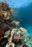 Tropical underwater scenery in the Red Sea. Royalty Free Stock Photo