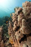 Tropical underwater scenery in the Red Sea. Royalty Free Stock Image