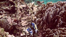 Tropical underwater world. Underwater view on the coral reef and tropical underwater world. Diving and snorkeling in the tropical sea.Travel concept,Adventure stock video
