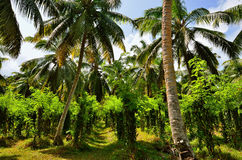Tropical vanilla plantation Royalty Free Stock Photo