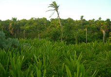 Tropical vegetation in the Caribbeans Stock Image