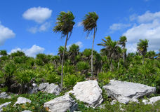 Tropical vegetation in the Caribbeans Mexico. Tropical vegetation background with palm trees, rocks and lush green foliage in the Caribbeans, Mexico Stock Photo