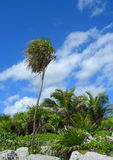 Tropical vegetation in the Caribbeans Mexico. Tropical vegetation background with palm trees, rocks and lush green foliage in the Caribbeans, Mexico Royalty Free Stock Photography