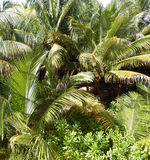 Tropical vegetation in the Caribbeans, Mexico. Dense tropical vegetation background with palm trees and lush green foliage in the Caribbeans, Mexico Royalty Free Stock Images