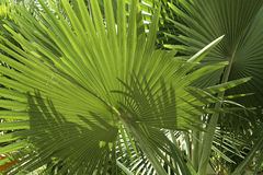 Tropical vegetation green palm fronds. Lush green palm leaves on a sunny day in the philippines stock photo