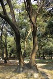 Tropical trees in Chapultepec Park. Tropical vegetation and trees in Chapultepec park in Mexico city,CDMX. Federal District. Ahuehuete Stock Image
