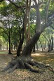 Tropical trees in Chapultepec Park. Tropical vegetation and trees in Chapultepec park in Mexico city,CDMX. Federal District Stock Images