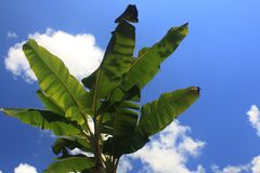A tropical view of a the bright green leaves of a banana tree with a bright sky and a few clouds royalty free stock photo