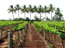 Tropical Vineyard. A background with a view of a vineyard(plantation of grape plants) in the Indian tropics, on the backdrop of lined palms stock photo