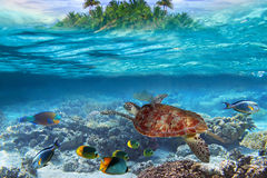 Tropical water diving. Green turtle in the tropical water Stock Images