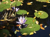 Tropical Water Lilies. Two tropical water lilies stock footage