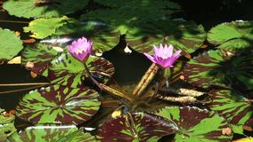 Tropical Water Lilies. Two pink tropical water lilies stock video