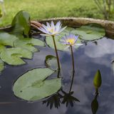 Tropical water lilies. Water lilies inside a hand carved stone pot at Bali, Indonesia Royalty Free Stock Images