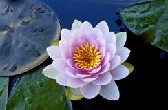 Tropical Water Lily. Tropical waterlily in backyard pond stock image