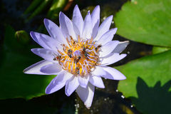 Tropical water-lily. With bee Royalty Free Stock Image