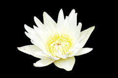 Tropical water lily  on black background Royalty Free Stock Photos