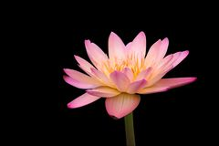 Tropical water lily isolated on black Stock Photography
