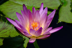 Tropical water-lily. Lotus rare flower. Symbol of purity Royalty Free Stock Image