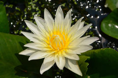 Tropical water-lily. Lotus rare flower. Symbol of purity Stock Photography