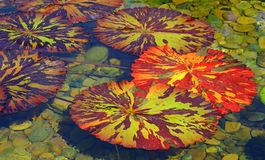 Tropical water lily pads Stock Images