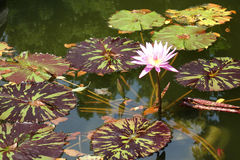 Tropical Water Lily Stock Photography