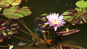 Tropical Water Lily. A pink tropical water lily on a pond stock video