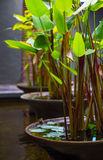 Tropical water plant called Water-Canna. For home/resort  interior and exterior Stock Images