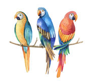 Tropical watercolor birds isolated on white background. Macaws p Stock Image