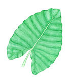 Tropical watercolor leaf Stock Photo