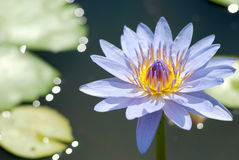 Tropical waterlily Royalty Free Stock Photography