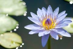Tropical waterlily photographie stock libre de droits