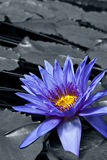 Tropical Waterlily. Nymphaea Director George T Moore, colorkey effect Royalty Free Stock Images
