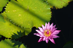 Tropical waterlily Royalty Free Stock Image
