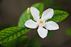 Tropical White Flower with Yellow Center Stock Images