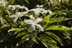 Tropical white flowers on a bush Stock Photography