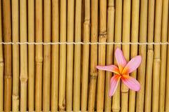 Tropical white frangipani on bamboo. Background Royalty Free Stock Photos