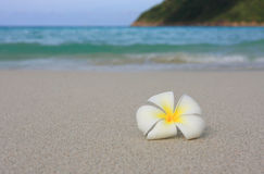Tropical White Frangipani on beach Royalty Free Stock Photography