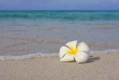 Tropical White Frangipani on beach Stock Photo
