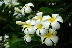 Tropical white frangipani flowers Stock Photography