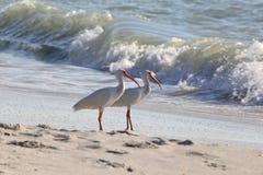 Tropical White Ibis Birds on the beach. American white Ibis along th sea shore Eudocimus albus Stock Photography
