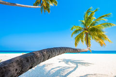Tropical white sand beach with palm trees Royalty Free Stock Photography