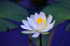 Tropical white water lily in pond Royalty Free Stock Photo