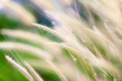 Tropical wild cereal grass in field Stock Images